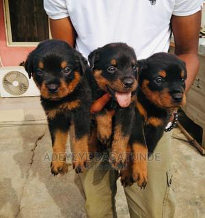 3-6 Month Male Purebred Rottweiler   Dogs & Puppies for sale in Oyo State, Ibadan