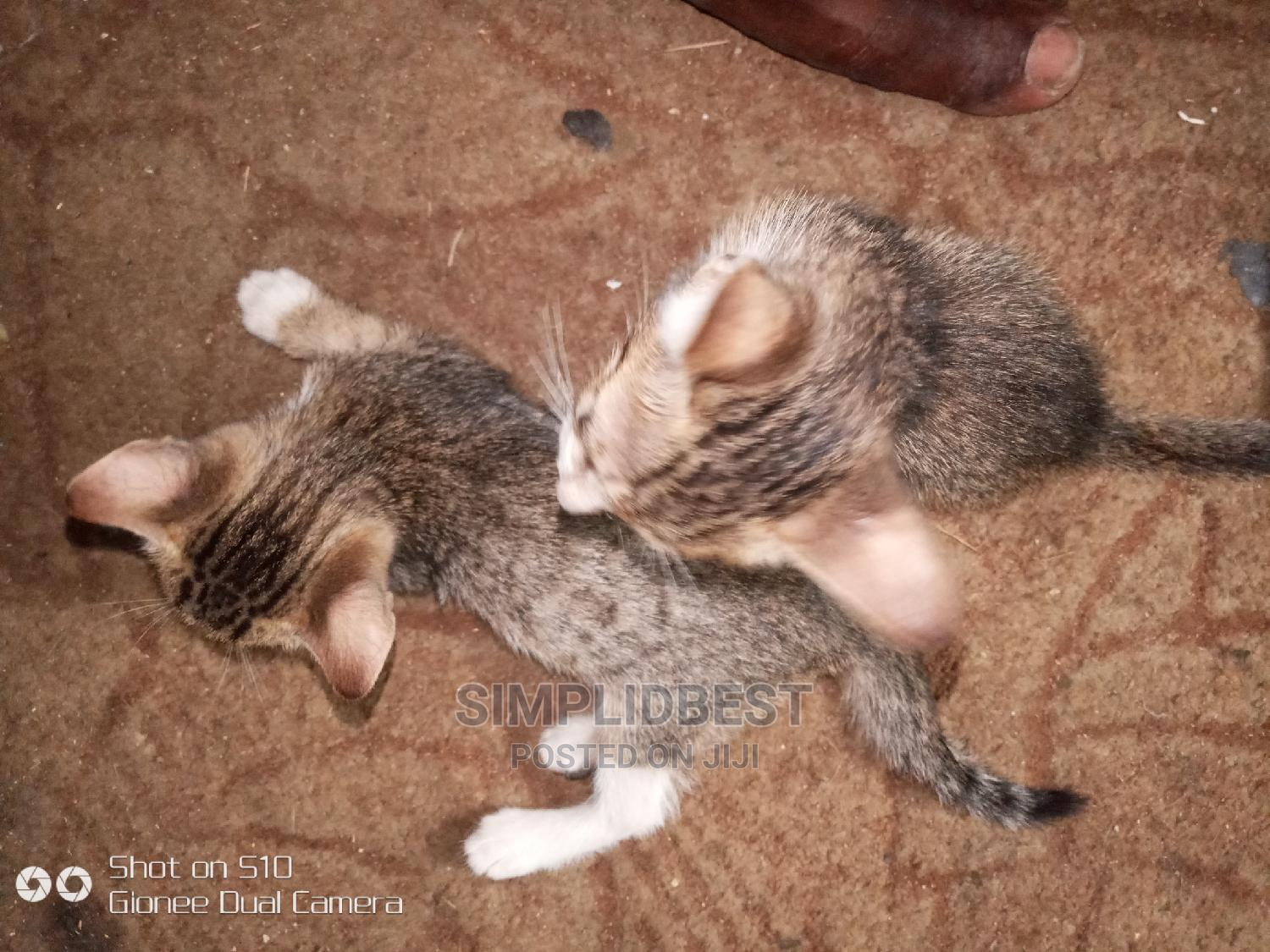 0-1 Month Male Mixed Breed American Shorthair | Cats & Kittens for sale in Shomolu, Lagos State, Nigeria