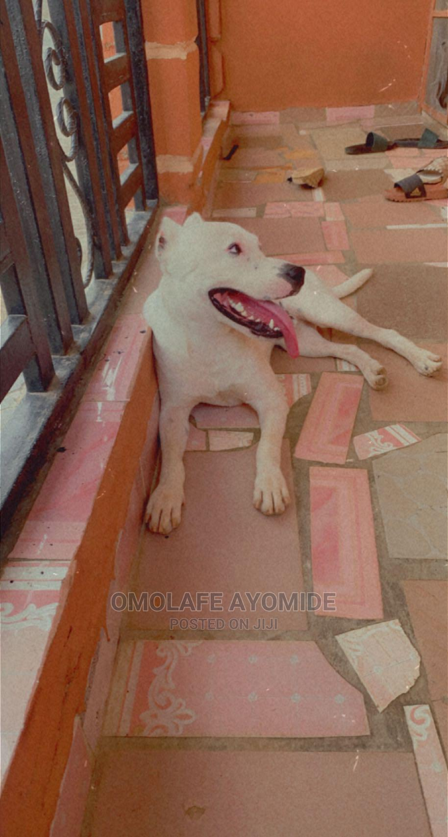 6-12 month Male Purebred American Pit Bull Terrier
