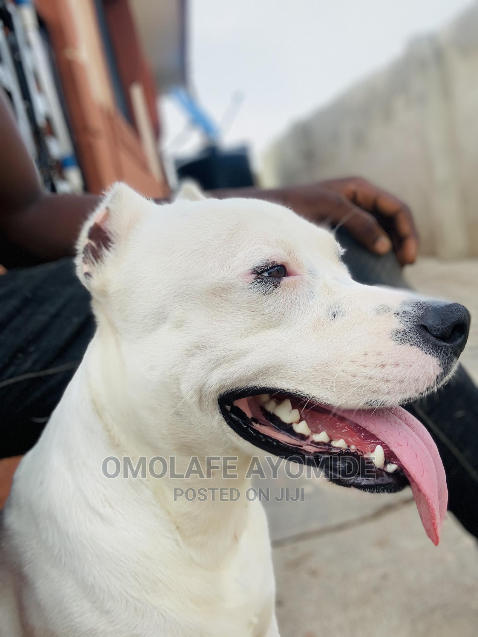 6-12 month Male Purebred American Pit Bull Terrier | Dogs & Puppies for sale in Akure, Ondo State, Nigeria