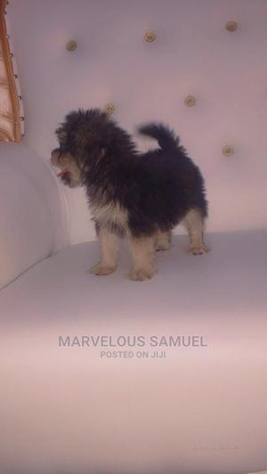 1-3 Month Male Purebred Lhasa Apso   Dogs & Puppies for sale in Oyo State, Ibadan
