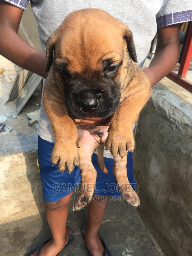 1-3 Month Male Purebred Bullmastiff   Dogs & Puppies for sale in Benin City, Edo State, Nigeria