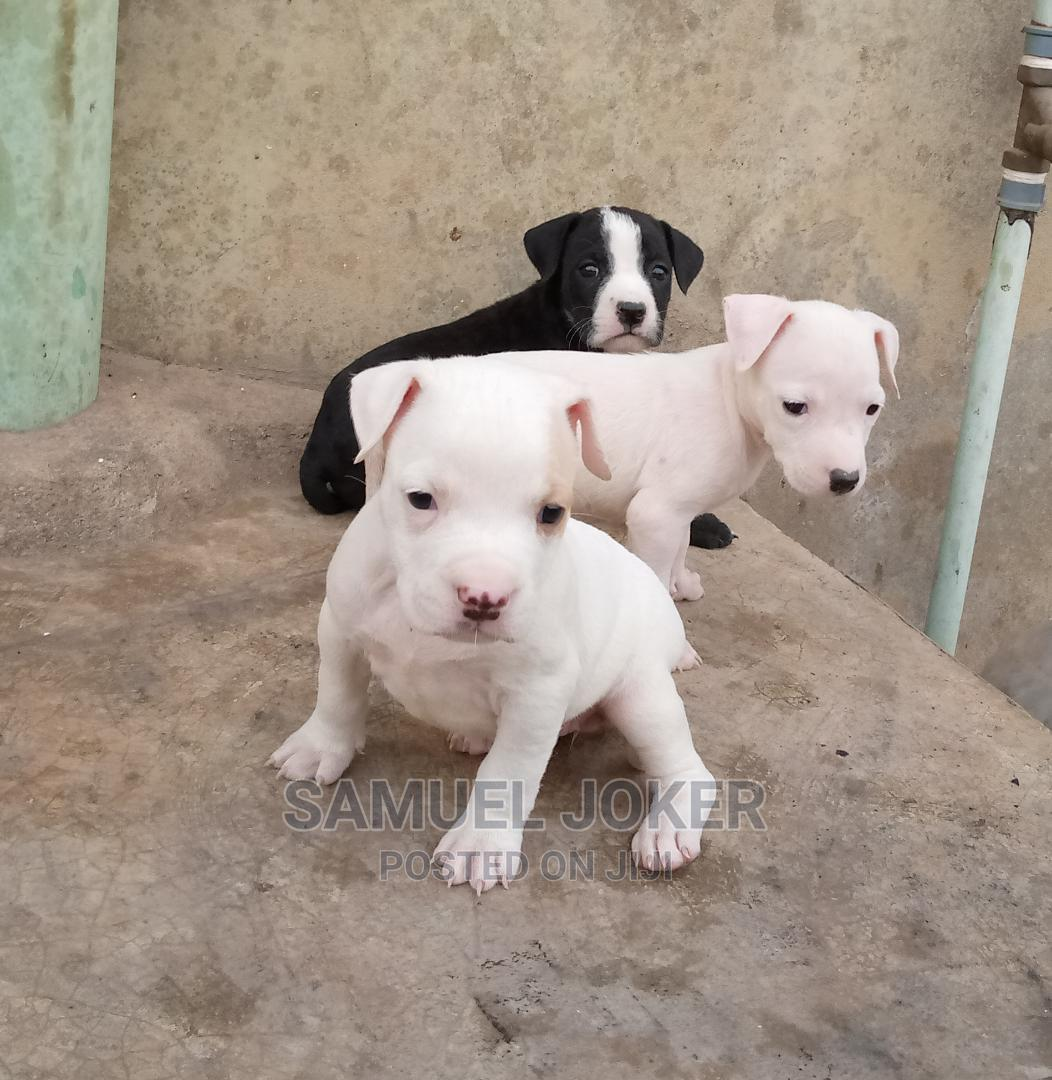 1-3 Month Male Purebred American Pit Bull Terrier   Dogs & Puppies for sale in Benin City, Edo State, Nigeria