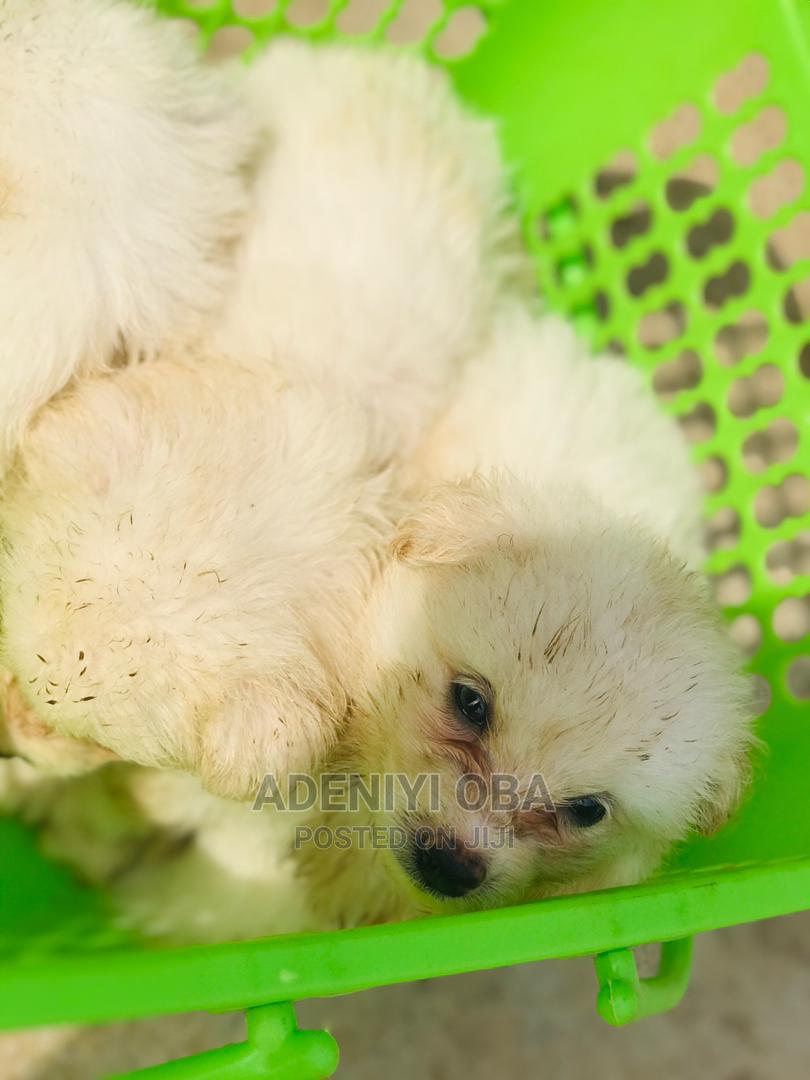 Archive: 1-3 Month Male Purebred American Eskimo