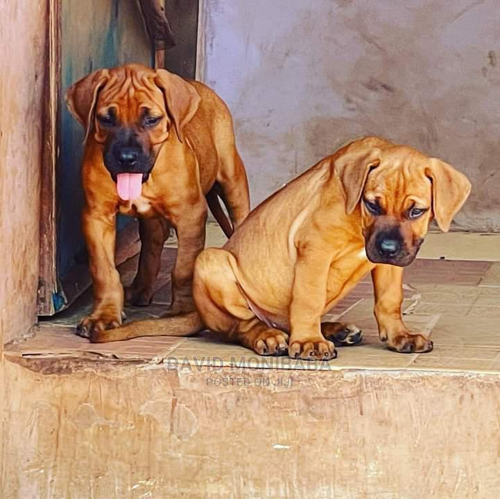 1-3 Month Male Purebred Boerboel | Dogs & Puppies for sale in Ikeja, Lagos State, Nigeria