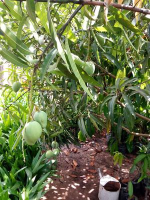 Grafted Mango Seedlings | Feeds, Supplements & Seeds for sale in Oyo State, Ibadan
