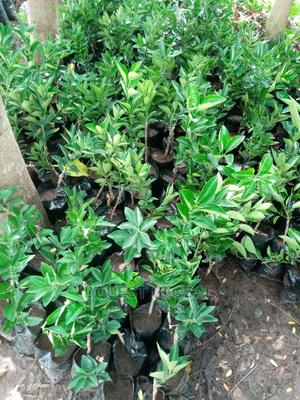 Budded Valencia Sweet Orange Seedlings | Feeds, Supplements & Seeds for sale in Oyo State, Ibadan