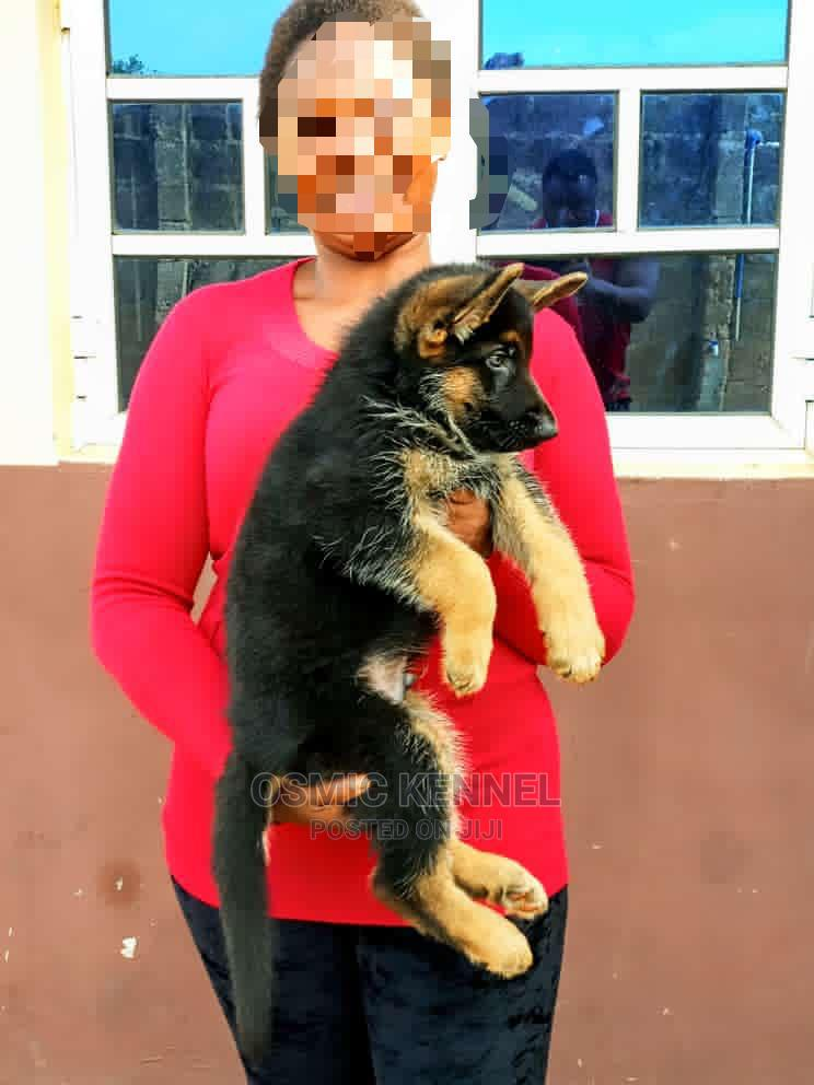 1-3 Month Male Purebred German Shepherd