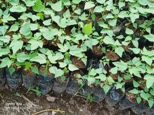 Hybrid Dwarf Pawpaw Seedlings | Feeds, Supplements & Seeds for sale in Oyo State, Ibadan