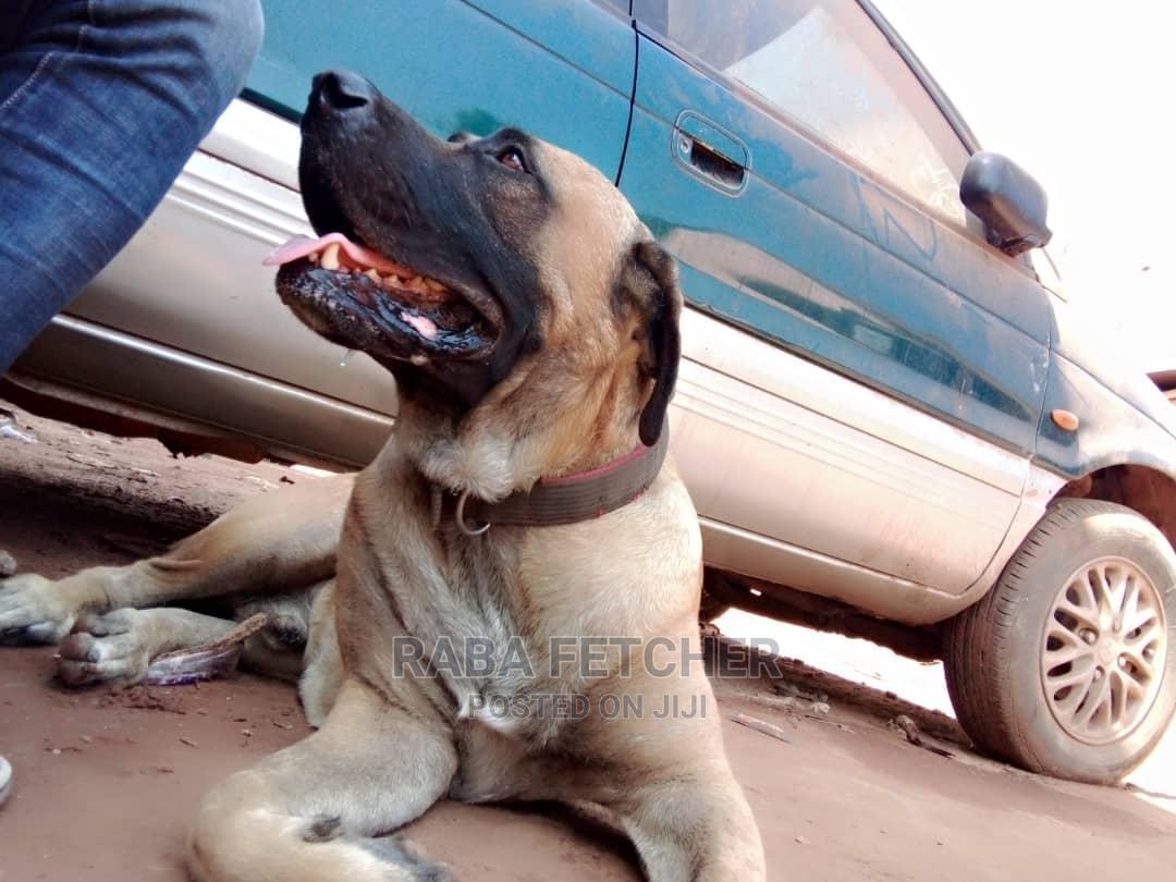 1+ Year Male Purebred Bullmastiff | Dogs & Puppies for sale in Enugu, Enugu State, Nigeria