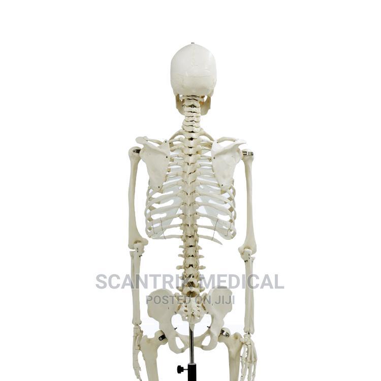 High Quality Models Life-Size Skeleton