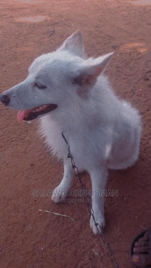 1+ Year Male Purebred American Eskimo | Dogs & Puppies for sale in Oyo State, Ibadan