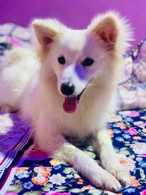 3-6 Month Male Purebred American Eskimo   Dogs & Puppies for sale in Oyo State, Ibadan