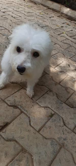 1+ Year Female Purebred Lhasa Apso | Dogs & Puppies for sale in Abuja (FCT) State, Gwarinpa