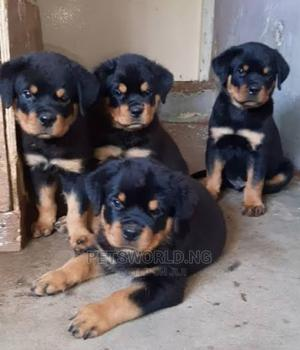 1-3 Month Female Purebred Rottweiler   Dogs & Puppies for sale in Lagos State, Yaba