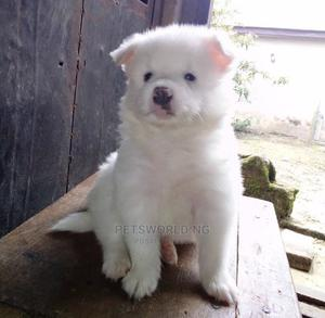 1-3 Month Male Purebred American Eskimo | Dogs & Puppies for sale in Lagos State, Surulere