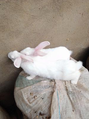 Foreign Breed Rabbits | Livestock & Poultry for sale in Kaduna State, Kaduna / Kaduna State