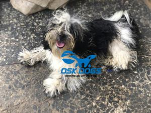 6-12 Month Female Purebred Lhasa Apso | Dogs & Puppies for sale in Lagos State, Ikorodu