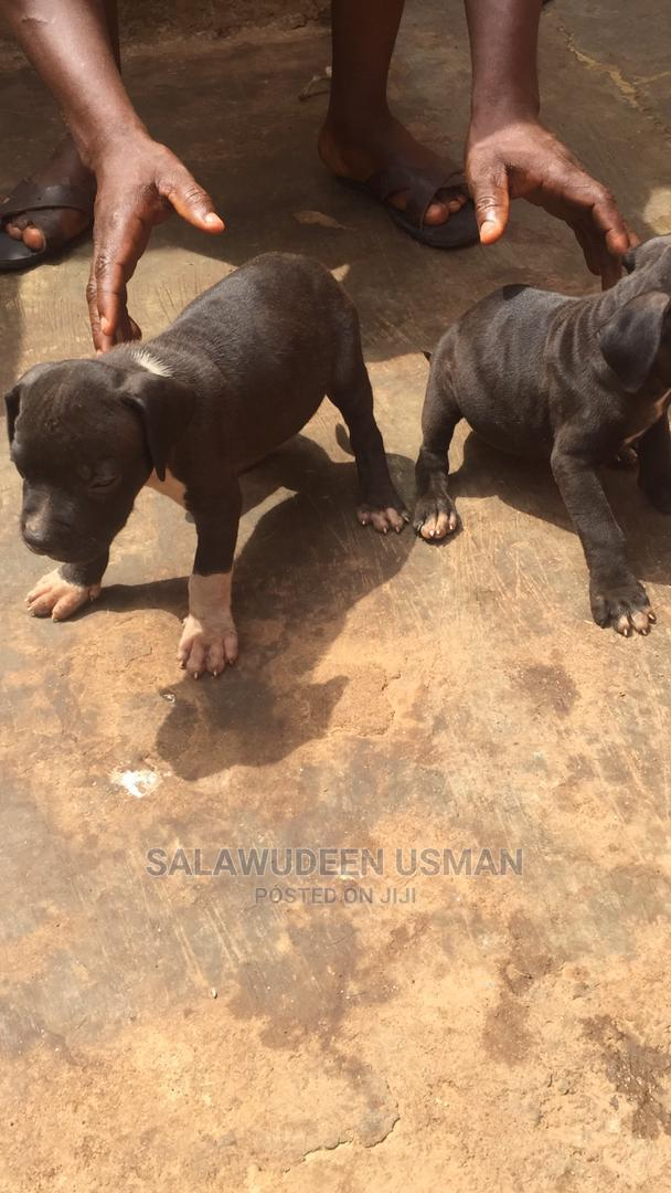 1-3 Month Male Purebred American Pit Bull Terrier