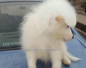 1-3 Month Female Purebred American Eskimo | Dogs & Puppies for sale in Ogun State, Abeokuta South