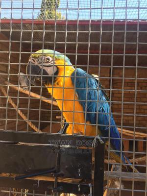 Macron Parrot | Birds for sale in Lagos State, Alimosho