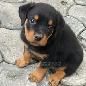1-3 Month Female Purebred Rottweiler   Dogs & Puppies for sale in Enugu State, Enugu