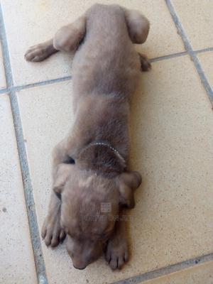 1-3 month Male Purebred Bulldog | Dogs & Puppies for sale in Kaduna State, Kaduna / Kaduna State