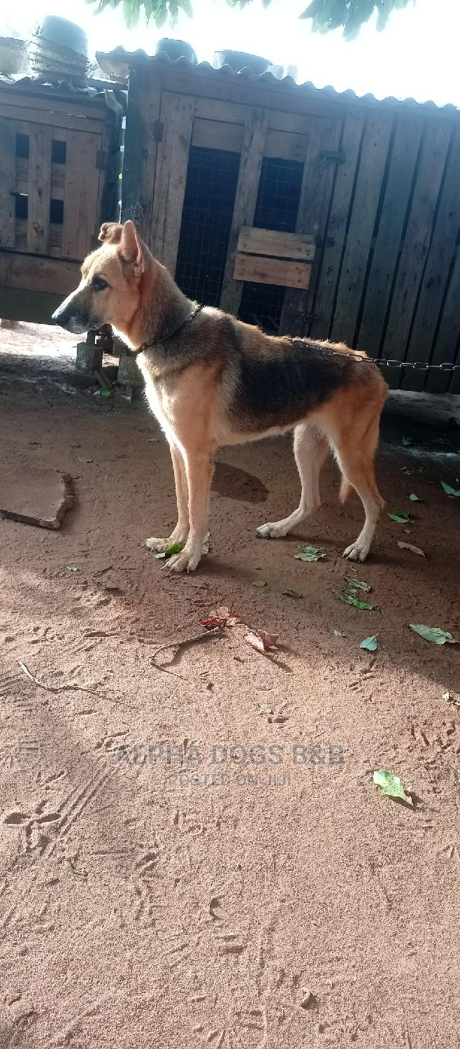 1+ Year Female Purebred German Shepherd | Dogs & Puppies for sale in Badagry, Lagos State, Nigeria