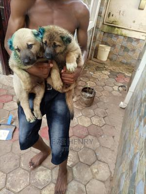 1-3 Month Female Mixed Breed Caucasian Shepherd | Dogs & Puppies for sale in Enugu State, Enugu