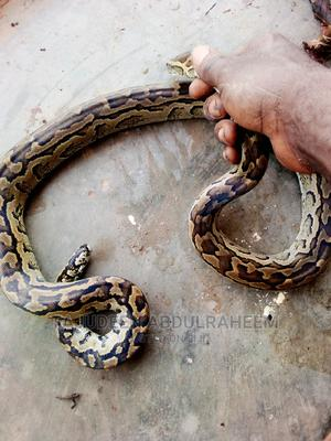 Mangrove Long Phyton for Sale | Reptiles for sale in Abia State, Arochukwu