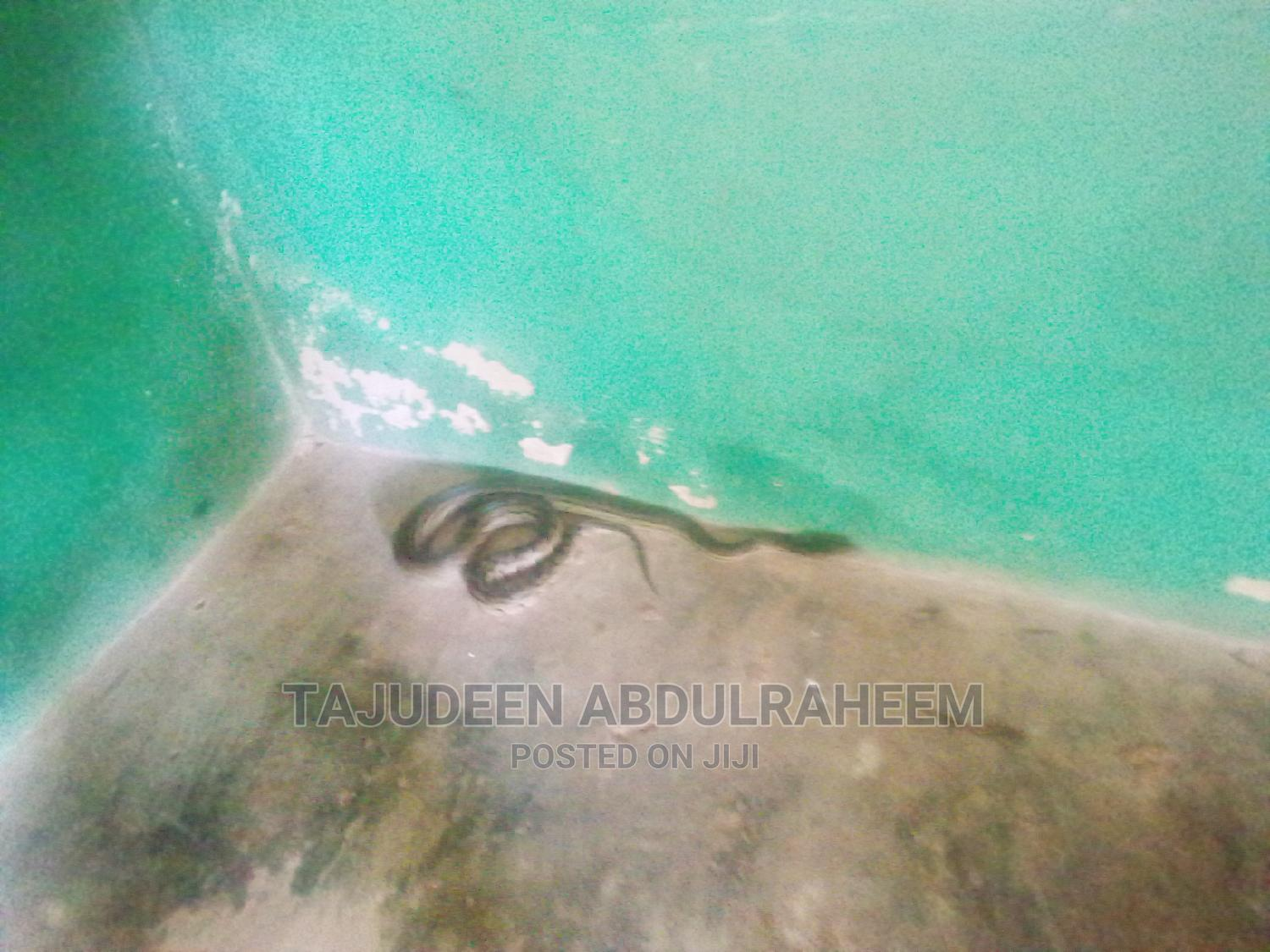 Mangrove Long Phyton for Sale | Reptiles for sale in Arochukwu, Abia State, Nigeria