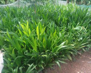 Oil Palm Seedlings(200) Suger G (1100) | Feeds, Supplements & Seeds for sale in Oyo State, Ibadan