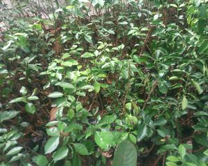 Citrus (Budded Orange) | Feeds, Supplements & Seeds for sale in Oyo State, Ibadan