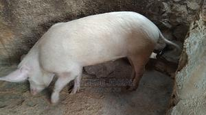 Pure Landrace Boar for Sale   Livestock & Poultry for sale in Plateau State, Jos