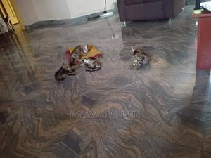 1-3 Month Male Purebred Cat | Cats & Kittens for sale in Lagos State, Ibeju