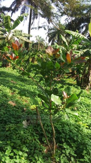 Hybrid Seedlings   Feeds, Supplements & Seeds for sale in Oyo State, Ibadan