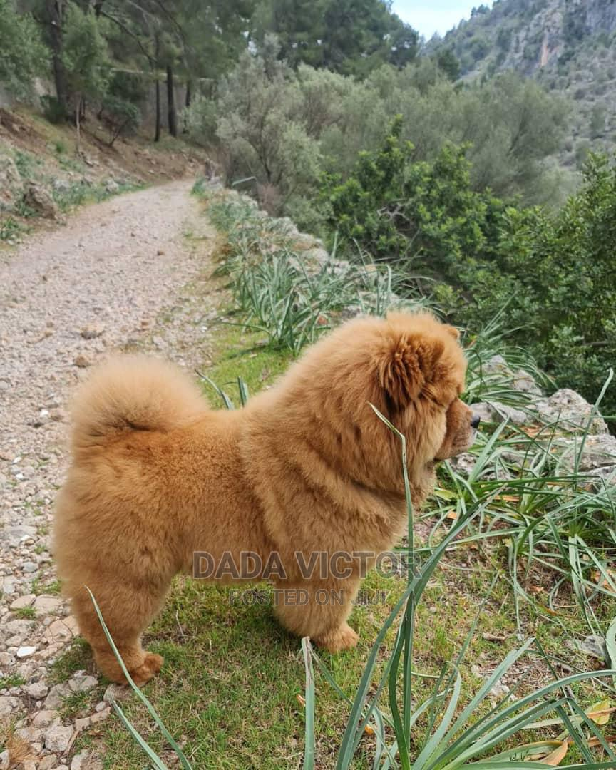 1-3 Month Female Purebred Chow Chow