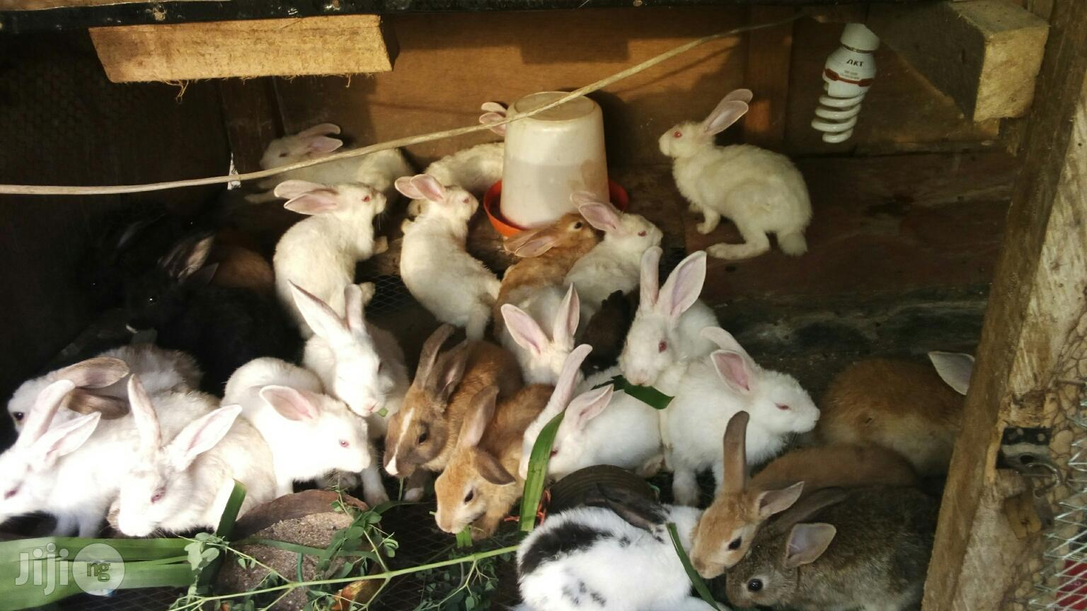 Bunnies for Sale   Livestock & Poultry for sale in Ikeja, Lagos State, Nigeria