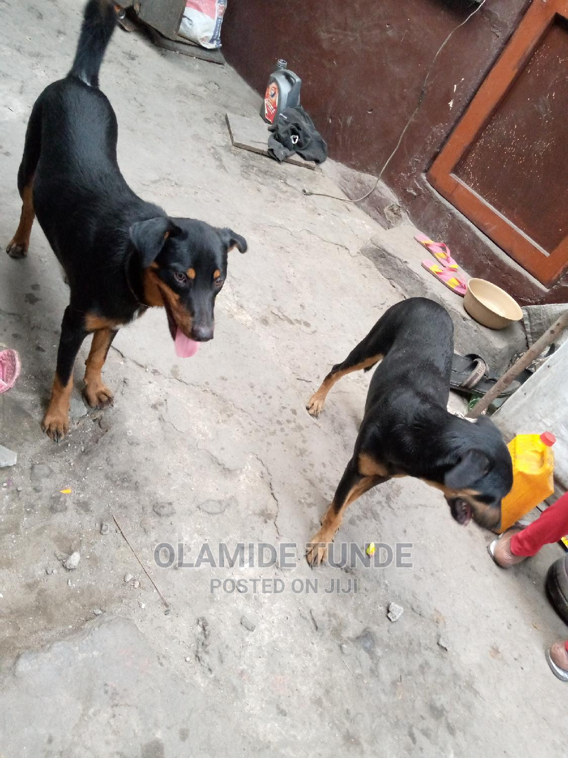 Archive: 1+ Year Male Mixed Breed Rottweiler