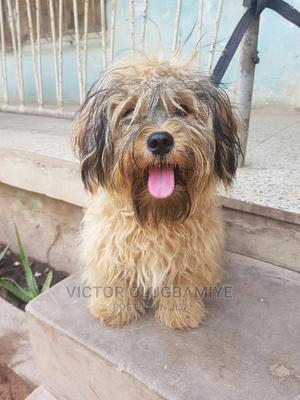 1+ Year Male Purebred Lhasa Apso   Dogs & Puppies for sale in Oyo State, Ibadan