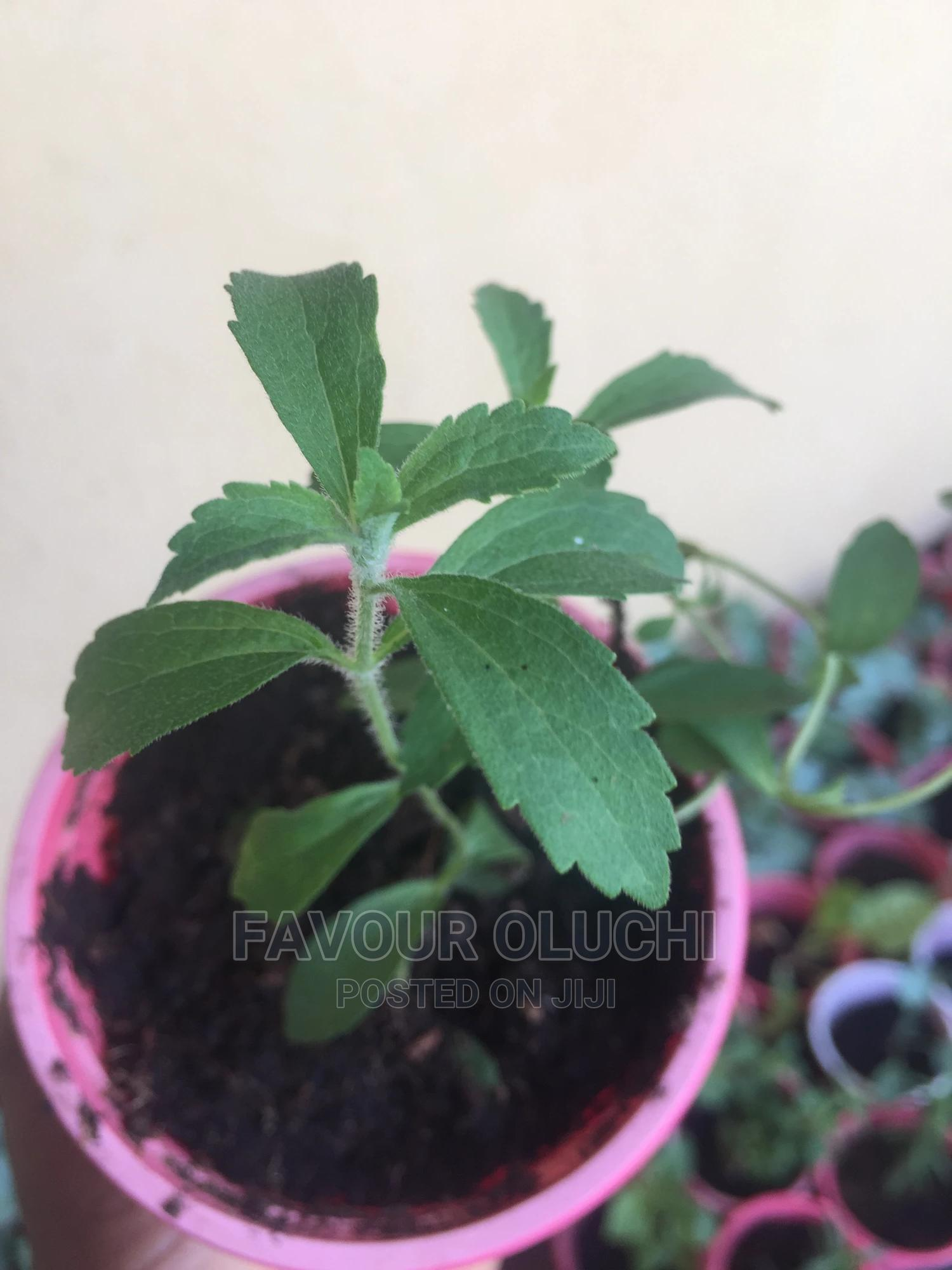 Stevia Seedlings (Sugar Plant), Fresh Leaves and Dried Leav