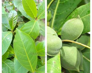 Almond Tree   Feeds, Supplements & Seeds for sale in Oyo State, Ibadan