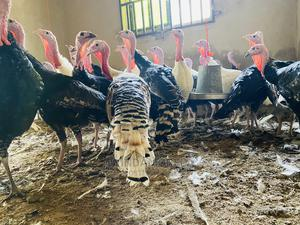 Point of Cross Turkey for Sale | Livestock & Poultry for sale in Oyo State, Ibadan