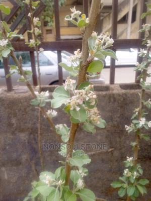 Apple Fruit Tree | Feeds, Supplements & Seeds for sale in Abuja (FCT) State, Central Business Dis