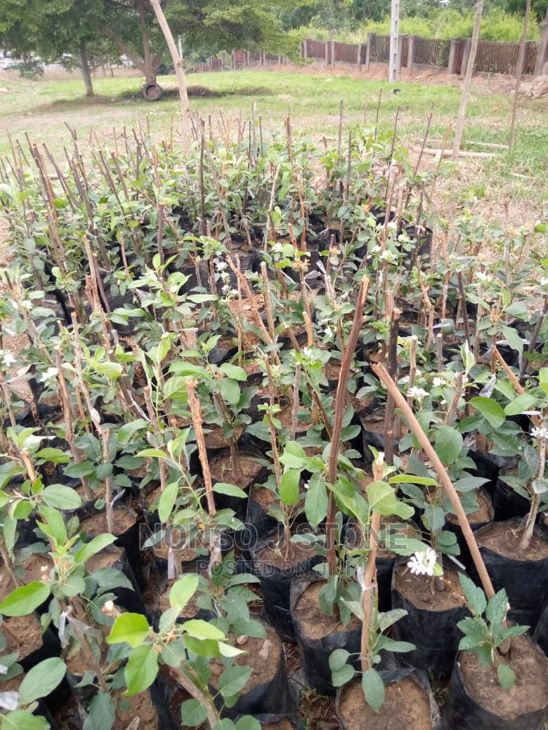 Apple Fruit Tree | Feeds, Supplements & Seeds for sale in Central Business Dis, Abuja (FCT) State, Nigeria