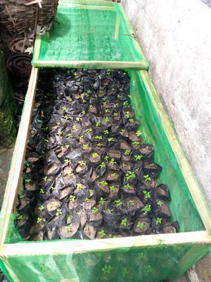 Hybrid Dwarf Pawpaw Seedling | Feeds, Supplements & Seeds for sale in Delta State, Warri
