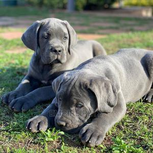 1-3 Month Female Purebred Cane Corso   Dogs & Puppies for sale in Lagos State, Alimosho