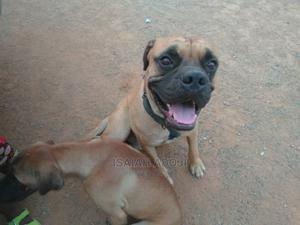 1+ Year Male Purebred Bullmastiff | Dogs & Puppies for sale in Nasarawa State, Nasarawa