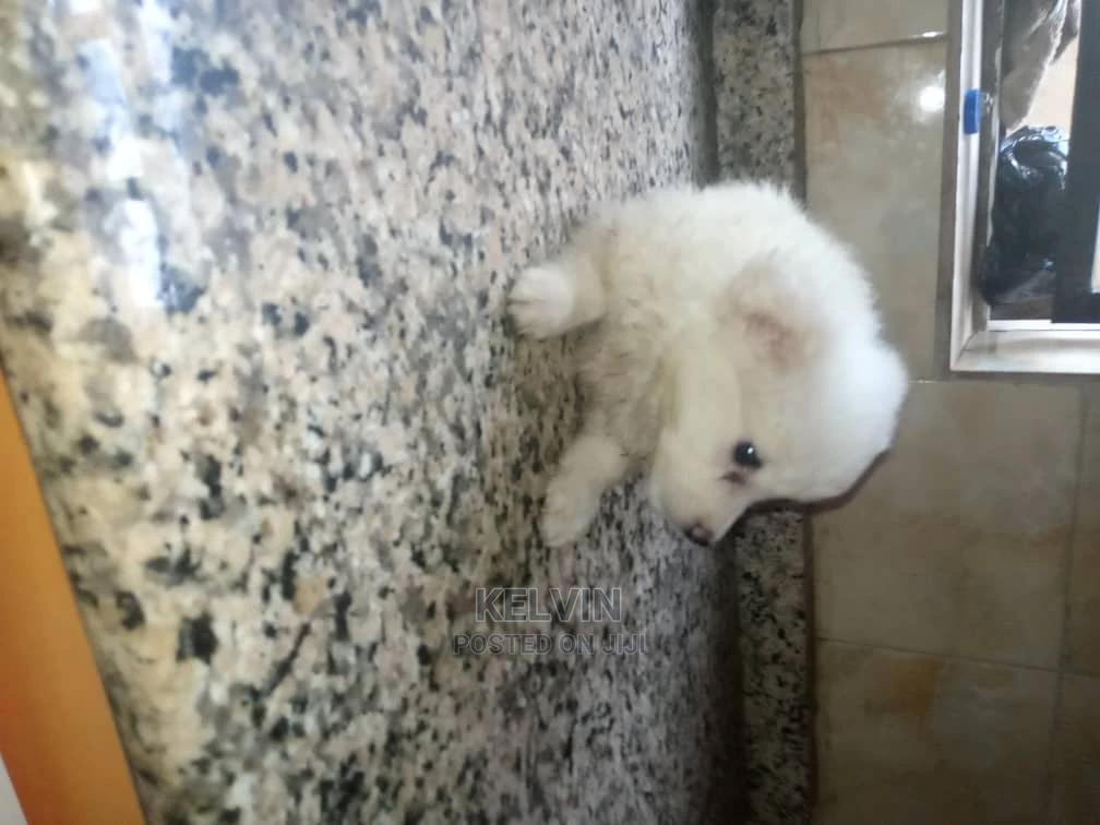 1-3 Month Female Purebred American Eskimo | Dogs & Puppies for sale in Kado, Abuja (FCT) State, Nigeria