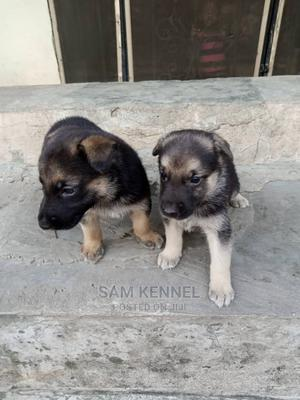 0-1 Month Female Purebred German Shepherd   Dogs & Puppies for sale in Osun State, Osogbo